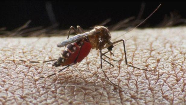 Do boje s hore�kou dengue vlet� genov� upraven� kom��i